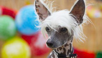 Curso Gratuito Curso de Técnico en Peluquería Canina (Online)