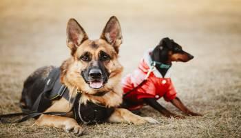 Curso Gratuito MF1756_3 Adiestramiento de Perros para Defensa y Vigilancia